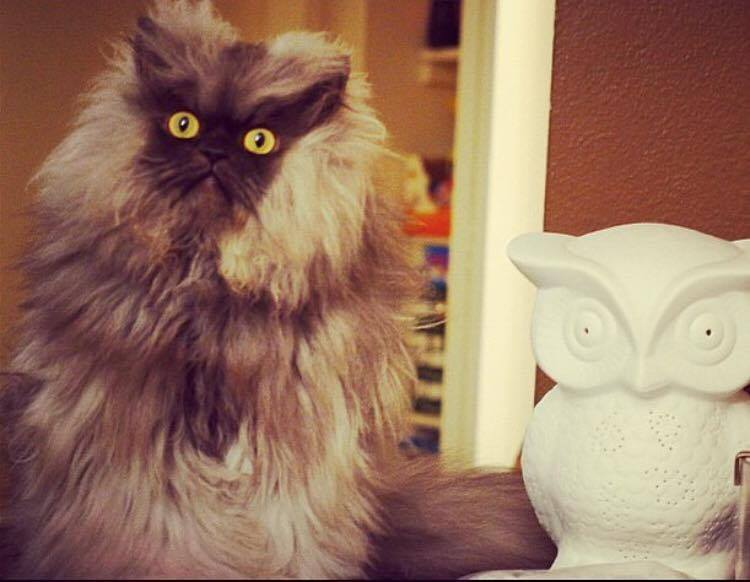 Colonel meow chat connu