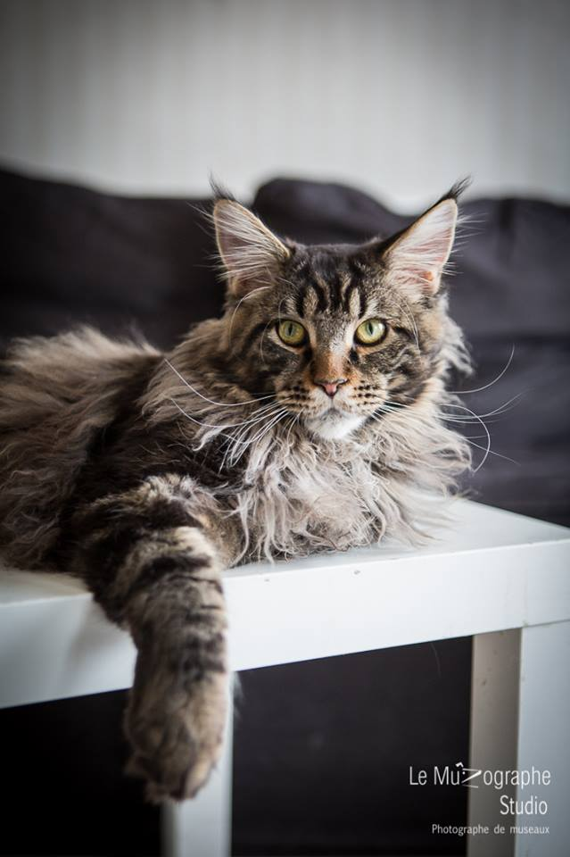 Loki Maine Coon chat