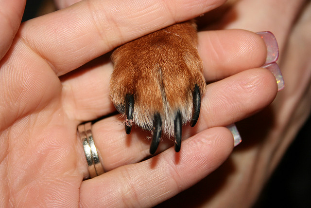 ongles griffes chien