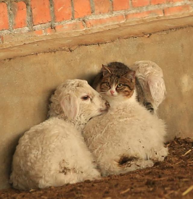 chat moutons