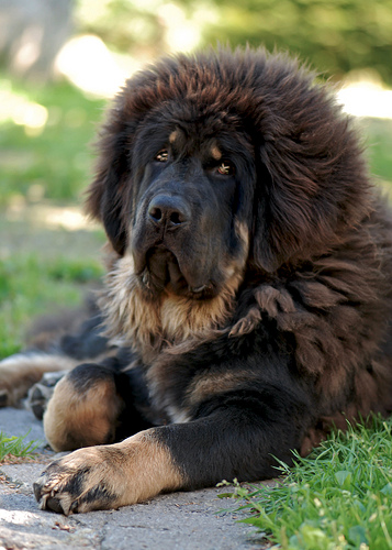 record un mastiff du tibet vendu 1 4 millions d 39 euros. Black Bedroom Furniture Sets. Home Design Ideas