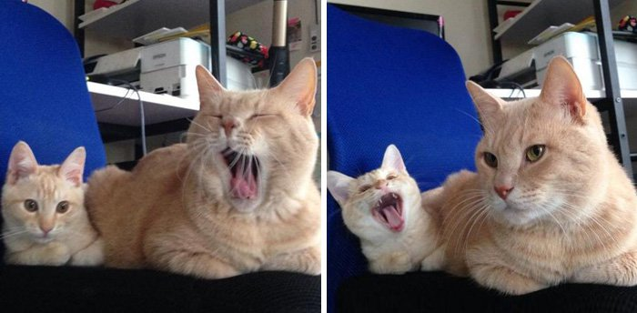 10 adorables chatons qui imitent leurs parents