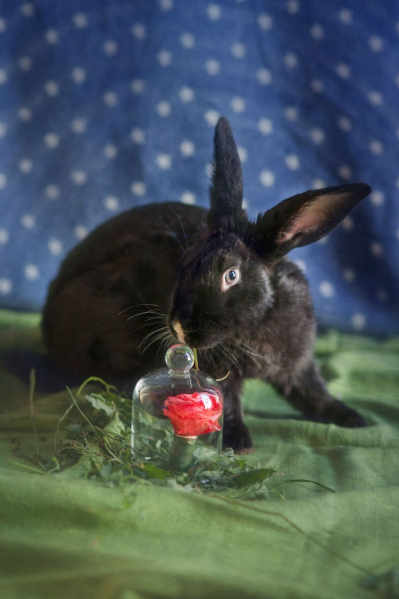 photo lapin, lapin de laboratoire
