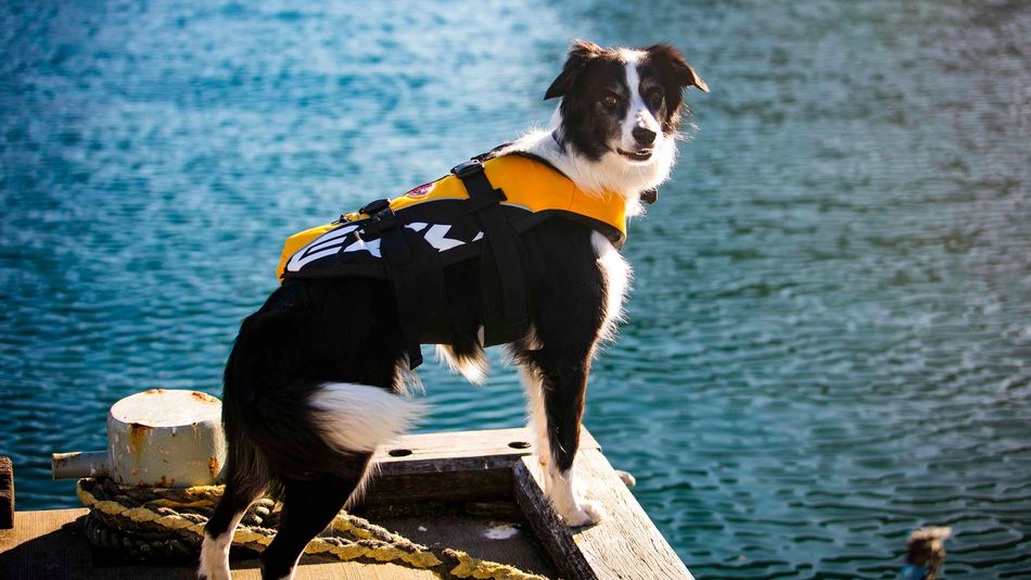 Bailey, le Border Collie au job de rêve