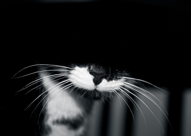 chat moustaches vibrisses