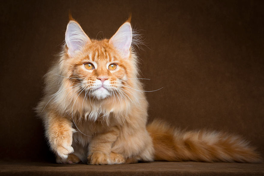 chat maine coon